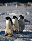 一只企鹅的一生