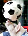 动物足球比赛