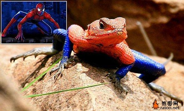 """肯尼亚一蜥蜴颜色外形酷似蜘蛛侠 来自巴西圣保罗的摄影师Cassio Lopes和妻子Alessandra在肯尼亚马赛马拉国家公园幸运地捕捉到了一组外形酷似蜘蛛侠、色彩亮丽的蜥蜴照片。这只姆万扎平头飞龙蜥蜴(Mwanza Flat Headed Agama lizard)体表的红蓝色斑纹以及外形和蜘蛛侠惊人地相似。Cassio Lopes说:""""这只蜥蜴的胸部、手臂和腿部看起来都非常像蜘蛛侠,色彩也非常亮丽鲜艳。"""""""