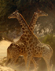 非洲�L�i鹿打架
