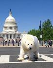 北极熊在白宫边散步