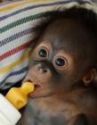 印尼可爱小猩猩瑞奇