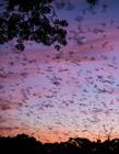 800万只蝙蝠迁徙奇景