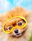 博美犬图片