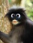 泰国公园叶猴瞪大双眸可爱萌样