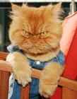 土耳其愤怒猫,这只猫叫Garfi