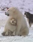 北极熊一把将雪橇犬揽入怀中gif动态图片