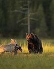 灰狼棕熊看日出