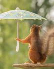 小松鼠雨中��愀咔�