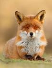 狐狸可爱图片