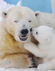 北极熊宝宝与妈妈视频