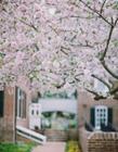樱花图片大全