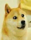 柴犬被卡住 柴犬�槭裁慈菀妆豢ㄗ� 被卡住的柴犬