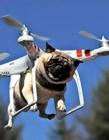 男子用无人机遛狗 遛狗的图片