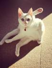 白猫图片大全 蓝眼白猫