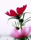 菊花的图片大全大图