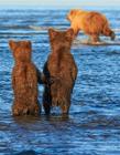 两只小熊手拉手等妈妈捕鱼归来 画面暖化人心