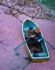 樱花海摄影 美丽的樱花图片
