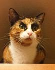 美国粗眉猫 粗眉毛的猫图片