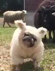 哈巴狗混入羊群遭驱赶