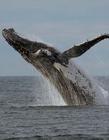 鲸鱼跃出海面瞬间 与船擦肩而过