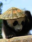 熊猫背竹篓 人民日报熊猫背篮子