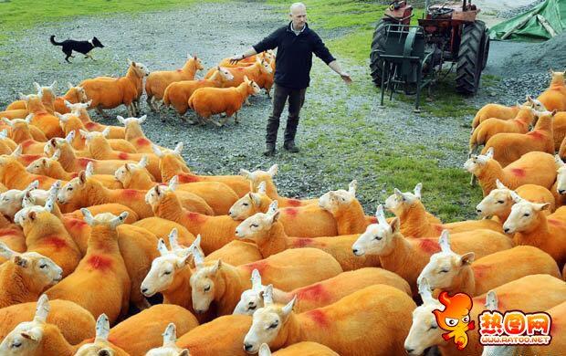 防羊被盗羊喷橙色