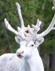 瑞典�F罕��白色�Z鹿 瑞典森林�白�Z鹿