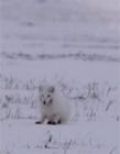 小北极狐图片