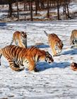 东北虎捕食 黑龙江东北虎林园