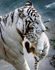 动物叼幼崽图片 猫科动物叼幼崽