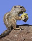 吃货松鼠图片 松鼠吃东西的样子