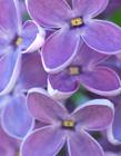紫色丁香花图片唯美