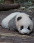 游客用食物砸醒熊猫 熊猫宝宝表情愤怒