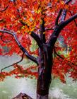 高清秋天枫叶图片大全 秋天枫叶图片大全