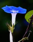 蓝色牵牛花图片 蓝色牵牛花的花语