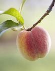 水果桃子图片 桃子是寒性水果吗