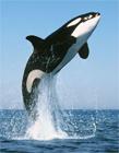 江西某公司买8吨重大鲸鱼喂狗 宰杀现场血腥