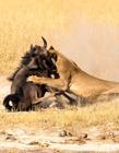 动物捕食图片 动物捕食的片段
