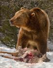 灰熊�c狼的���