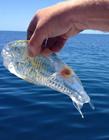 透明的生物 透明的�游�