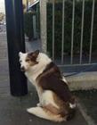 狗狗等主人 狗都会等主人么