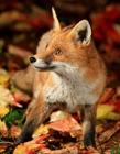 狐狸壁纸桌面 狐狸高清壁纸