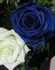 蓝色妖姬是染色的吗