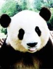 熊猫可爱gif图 可爱熊猫gif