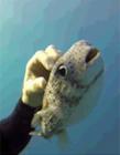 可爱河豚鱼图片 水中河豚图片