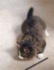猫咪尾巴左右摇摆 猫咪左右摇尾巴