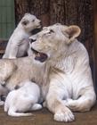 白狮照片 白狮幼崽
