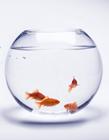 清新小金鱼图片 鱼缸里的金鱼图片