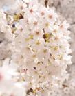 樱花高清图片